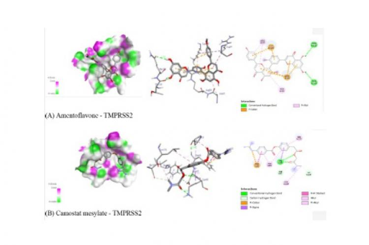 Interaction of amentoflavone and Camostat mesylate with human TMPRSS-2 protein