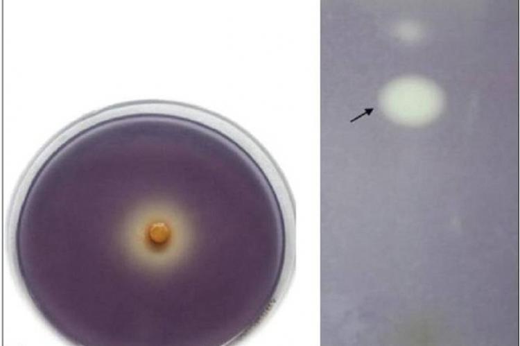 Anti‑quorum sensing potential of Adenanthera pavonina