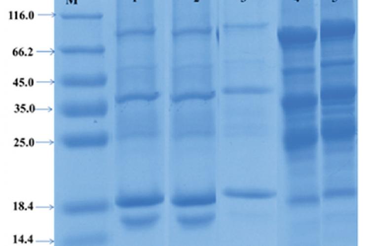 Sodium dodecyl sulfate‑polyacrylamide gel electrophoresis protein banding patterns of Memecylon species M: Marker