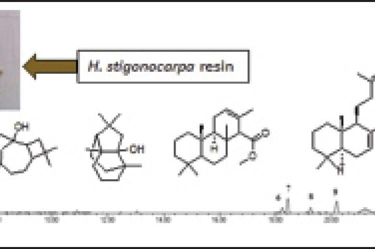 Cytotoxic Action and Proliferation in vitro and Analgesic Activity in vivo of Resin from Hymenaea stigonocarpa